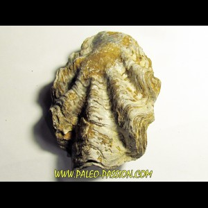 Ostrea nicaisei (7)