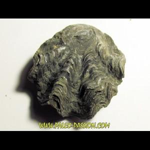 Ostrea nicaisei (9)