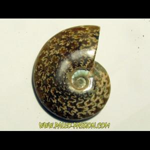 cleoniceras polie (1)