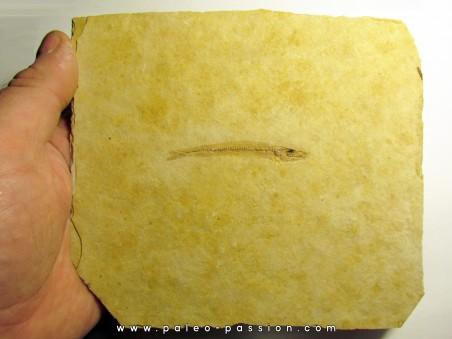 Cobitopsis acutus  (3)