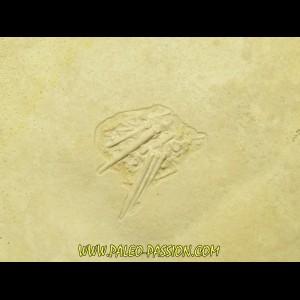 Pseudosalenia aspera - Solnhofen