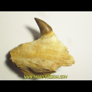 PROGNATHODON sp. tooth (1)