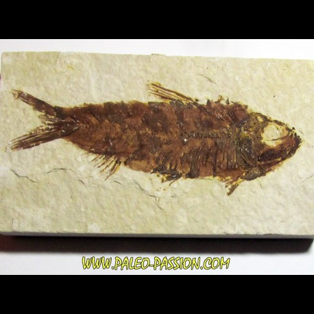 fish: KNIGHTIA EOCAENA (2)