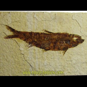 fish: KNIGHTIA EOCAENA (3)