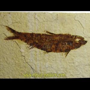 fish: KNIGHTIA EOCAENA (3)