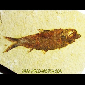 fish: KNIGHTIA EOCAENA (5)