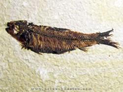 poisson fossile KNIGHTIA EOCAENA (7)