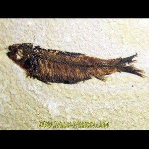 fish: KNIGHTIA EOCAENA (7)