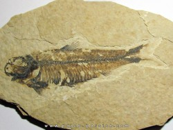 fish: KNIGHTIA EOCAENA (8)