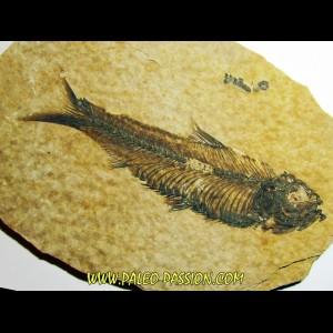 fish: KNIGHTIA EOCAENA (9)