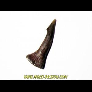 ONCHOPRISTIS NUMIDUS tooth (9)