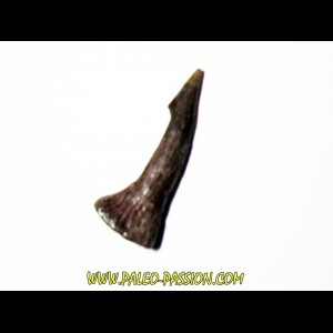ONCHOPRISTIS NUMIDUS tooth (9)