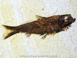 poisson fossile KNIGHTIA EOCAENA (12)