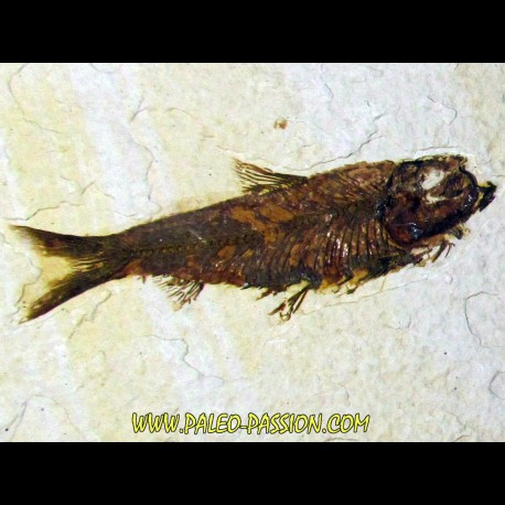 fish: KNIGHTIA EOCAENA (12)