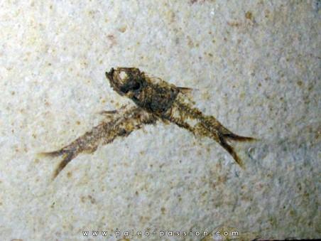 fish: KNIGHTIA EOCAENA (13)