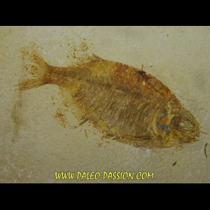 fish: PHAREODUS TESTIS (2) !!! 14cm !!!!