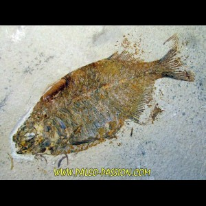fish: PHAREODUS TESTIS (3) !!! 14cm !!!!