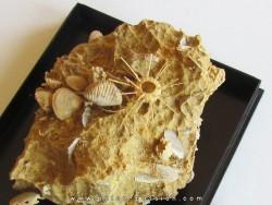 urchin Polydiadema superbum (2)