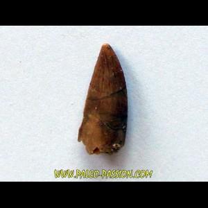 dinosaur tooth DELTADROMEUS AGILIS (2)