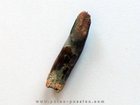 dent de sauropode REBBACHISAURUS (1)