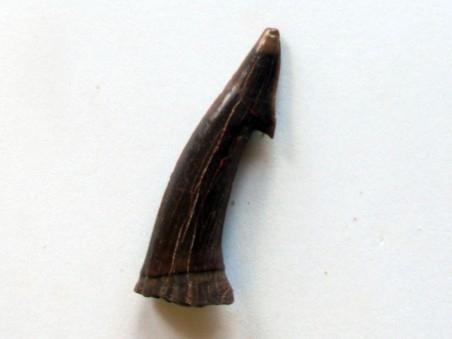 ONCHOPRISTIS NUMIDUS tooth (11)