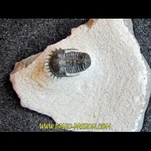 otarionella Ikomalii (1)
