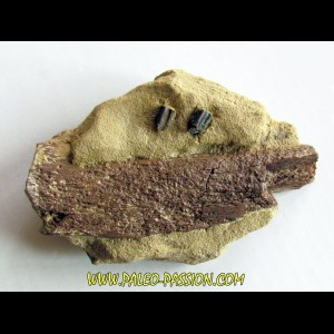 bone bed : dinosaur hadrosaur bones and tooth (1)