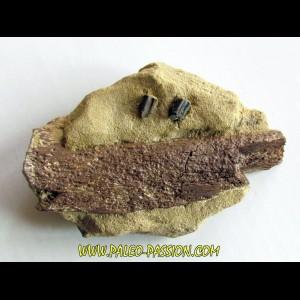 bone bed : os et dent de dinosaure  HADROSAURE (1)