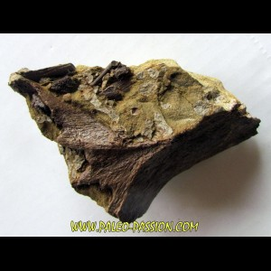 bone bed : dinosaur hadrosaur bones and tooth (3)