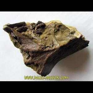 bone bed : os et dent de dinosaure  HADROSAURE (3)
