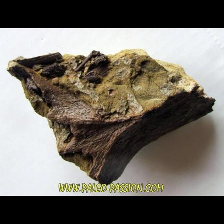 bone bed : dinosaur hadrosaur bones and tooth (3)