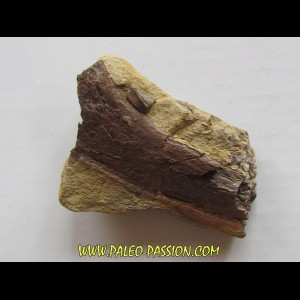 bone bed : dinosaur hadrosaur bones and tooth (5)