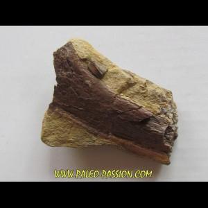 bone bed : os et dent de dinosaure  HADROSAURE (5)