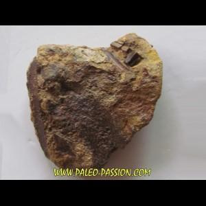 bone bed : os et dent de dinosaure  HADROSAURE (7)