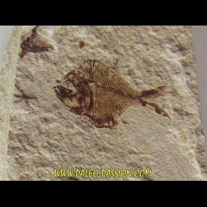 DIPLOMYSTUS BIRDI (1)