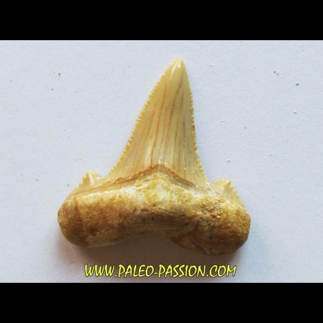 shark tooth: CARCHAROCLES SOKOLOVI (3)
