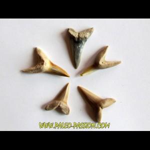 set of 5 COSMOPOLOTODUS PRAECURSOR (4)