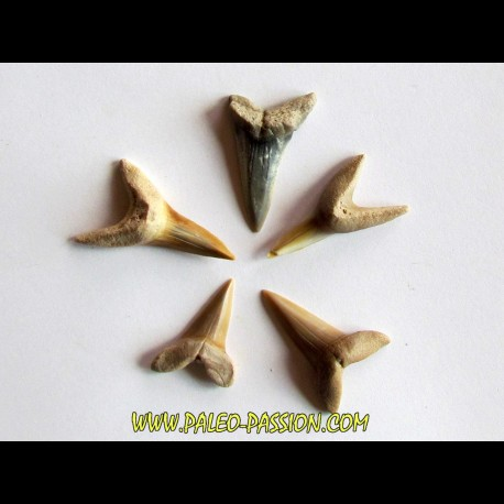 set of 5 COSMOPOLOTODUS PRAECURSOR (4)