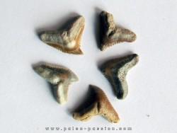 set of 5 GALEOCERDO EAGLESOMI (1)