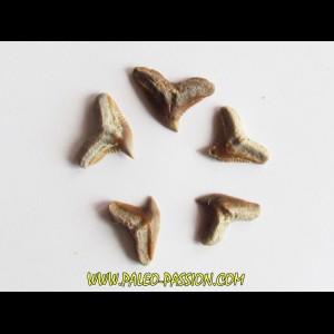set of 5 GALEOCERDO EAGLESOMI (2)