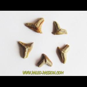 set of 5 GALEOCERDO EAGLESOMI (3)