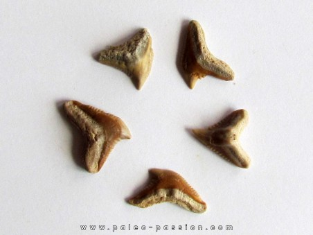 lot de 5 GALEOCERDO EAGLESOMI (5)