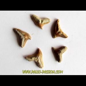 set of 5 GALEOCERDO EAGLESOMI (7)