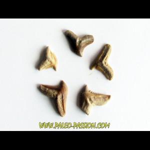 set of 5 GALEOCERDO EAGLESOMI (8)