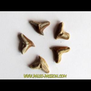 set of 5 GALEOCERDO EAGLESOMI (9)