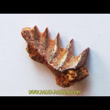neoceratodus africanus (2)