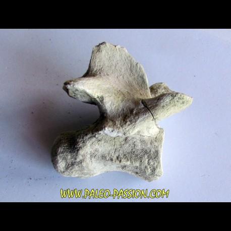 crocodylus spenceri vertebrae