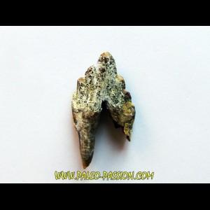BASILOSAURUS tooth (1)