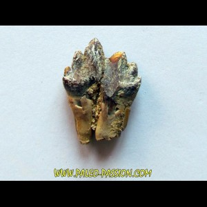 BASILOSAURUS tooth (2)