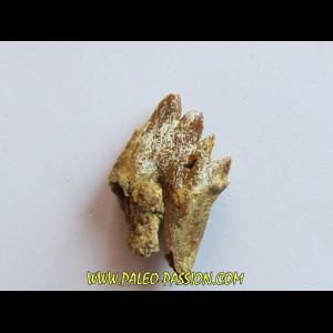 BASILOSAURUS tooth (3)